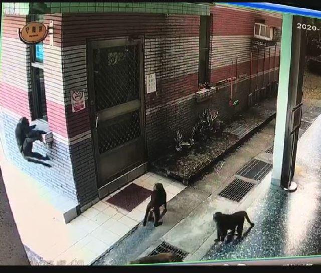 近30隻獼猴群聚在校園中。(淵明國中提供)