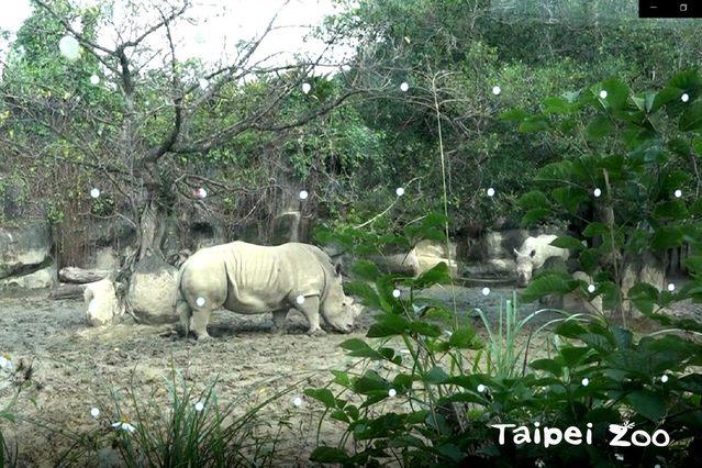 動物園目前先在非洲動物區東非狒狒、斑哥羚羊及白犀牛戶外活動場的玻璃貼上「友善鳥類窗貼」。(台北市立動物園提供)