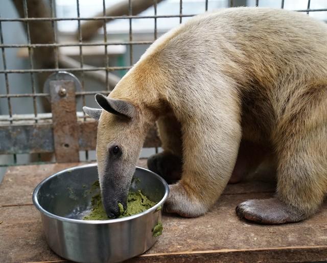 食蟻獸「小紅」狂吃酷似「抹茶蛋糕」的食糧(台北市立動物園提供)