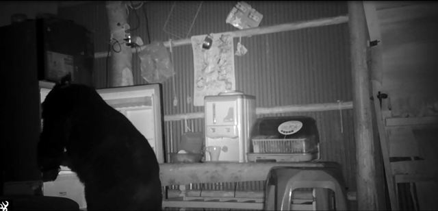 (大公熊翻冰箱找食物。/林務局提供。)