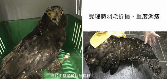 2018年3月中大冠鷲B06因受傷被送至猛禽會住院治療。(基隆市動保所提供。)
