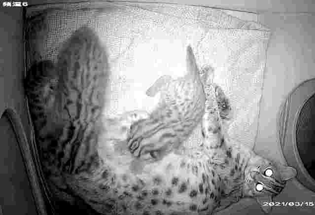 石虎寶寶用腳掌幫媽媽按摩,這樣可以促進乳汁分泌。(動物園提供)