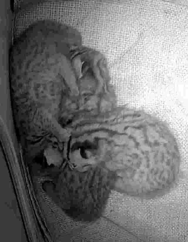媽媽外出覓食,三隻寶寶依偎在一起。(動物園提供)