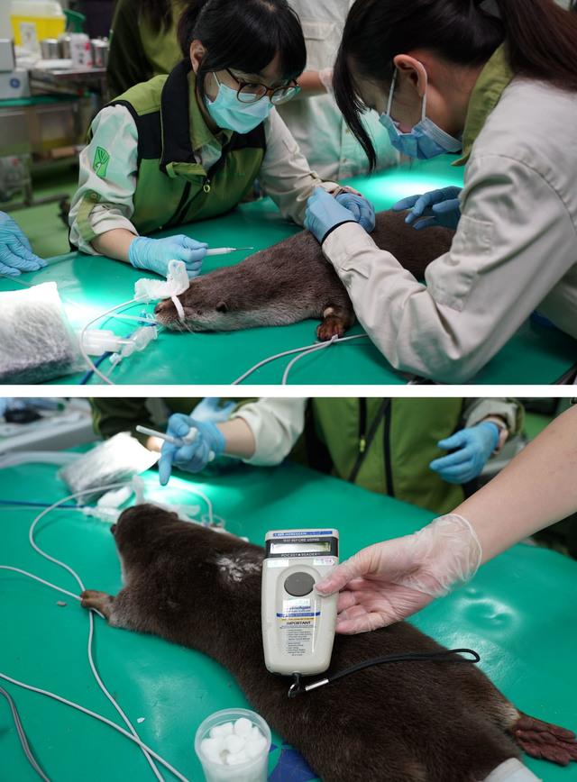 近期動物園獸醫師為「莎夏」進行首次全身健康檢查,同時施打晶片與疫苗。(動物園提供)