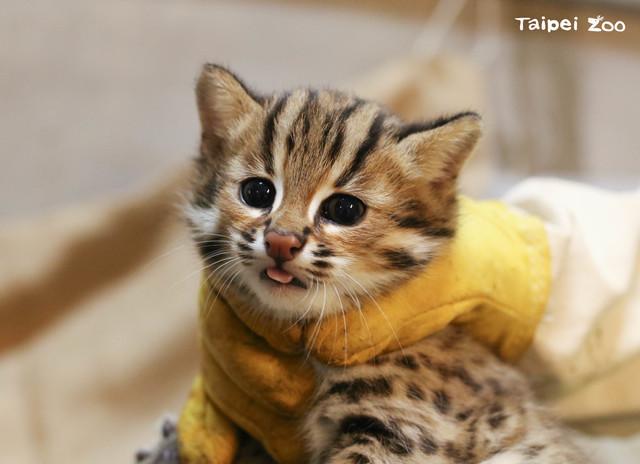 石虎三胞胎的二哥「貓攬」。(台北市立動物園提供)