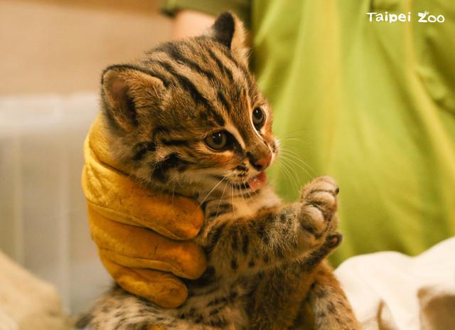 石虎三胞胎的大哥「貓雄」。(台北市立動物園提供)