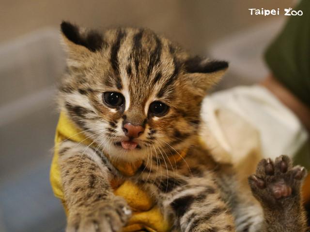 石虎三胞胎的小妹「貓控」。(台北市立動物園提供)