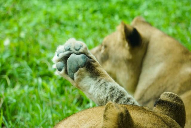 非洲獅發出低頻叫聲,分享對晚餐時間到來的激動心情。(動物園提供)