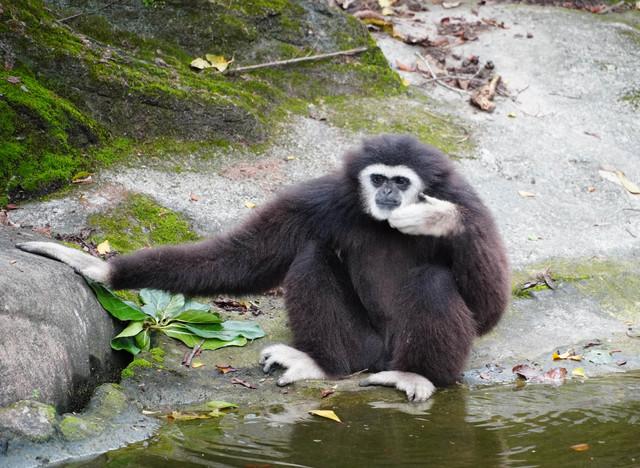 白手長臂猿一家用高亢的叫聲彼此溝通。(動物園提供)