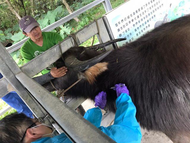 牛結節疹入侵!北市無感染、全面完成疫苗接種 |