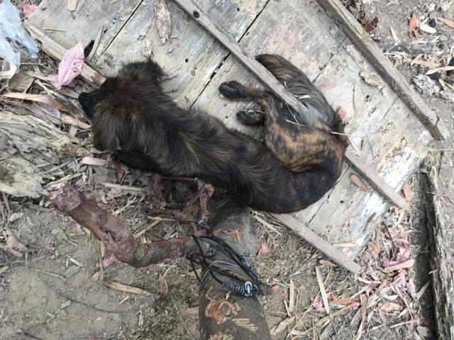 長毛虎斑犬的右前腳則因夾傷而全肢嚴重發腫。(翻攝台灣之心愛護動物協會網站)