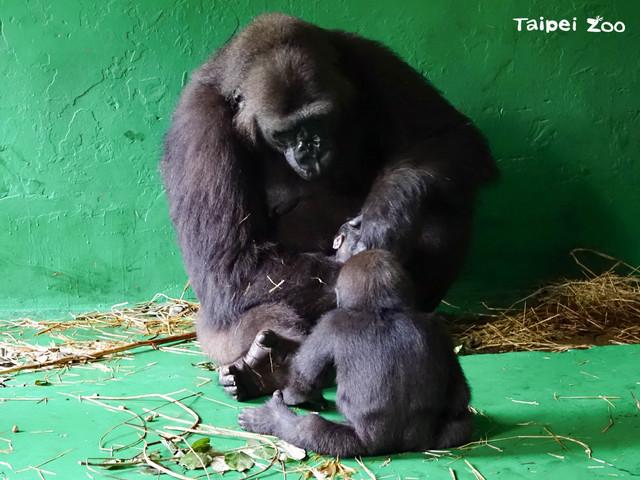 「Jabali(呷百二)」(前) 去探視「Iriki」和新生寶寶 / 北市動物園提供