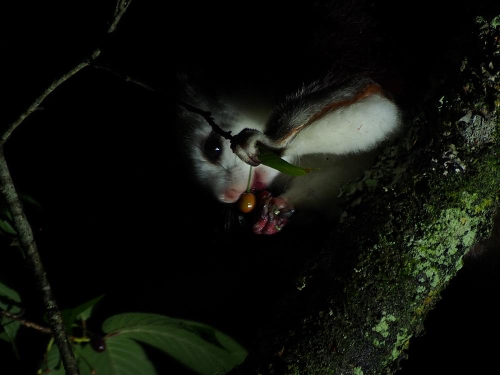 白面鼯鼠夜間覓食吃櫻花果 (嘉義林管處提供)